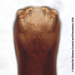 Ancylostoma-caninum