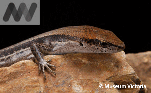 A Grass Skink (Lampropholis guichenoti) or maybe a new species?