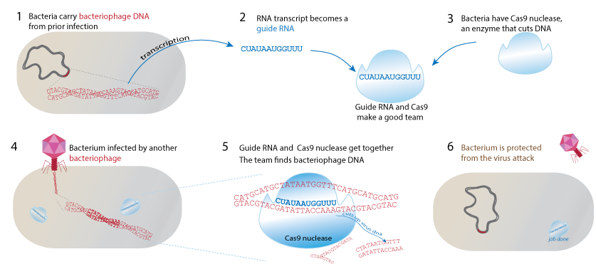 Figure 1 A simplified view of the way bacteria use the CRISPR method with guide RNA and Cas9 nuclease enzyme to protect against bacteriophage invasion