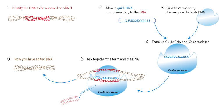 Figure 2 A specific guide RNA is added to cells. It directs a nuclease enzyme to the target gene for editing